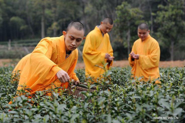 Monaci-del-tempio-buddista-Fajing.-Raccolta-dello-zen-tea