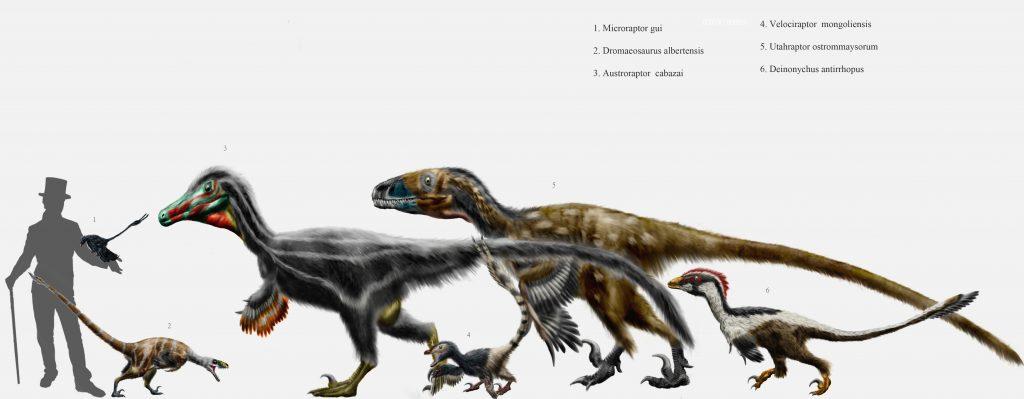 Aspetto ipotetico dei principali dromeosauri e confronto con le dimensioni umane. (Fonte immagine: en.wikipedia.org)